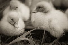 Portrait of cute little baby fluffy muscovy ducklings close up in black and white. Portrait of cute little baby fluffy muscovy ducklings close up stock photo