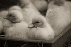 Portrait of cute little baby fluffy muscovy ducklings close up in black and white. Portrait of cute little baby fluffy muscovy ducklings close up stock photos