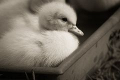 Portrait of cute little baby fluffy muscovy ducklings close up in black and white. Portrait of cute little baby fluffy muscovy ducklings close up royalty free stock images