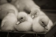 Portrait of cute little baby fluffy muscovy ducklings close up in black and white. Portrait of cute little baby fluffy muscovy ducklings close up stock image