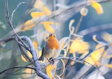 portrait of a cute little bird Robin with an orange breast sitting on the branches in autumn Sunny Park stock photo
