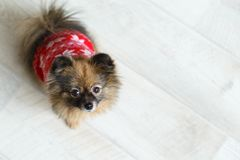 Portrait of a cute little dog spitz sits on the floor, space for text or article. top view royalty free stock photo