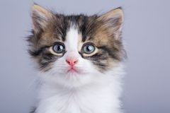 Portrait of a cute little fluffy kitten with blue eyes Stock Photos