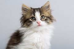 Portrait of a cute little fluffy kitten with blue eyes on a gray background in the studio royalty free stock images