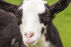 Portrait of a cute  little goat closeup. royalty free stock images