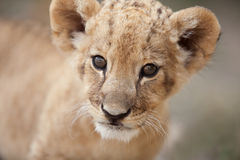 Portrait of cute little lion cub looking at you Royalty Free Stock Image