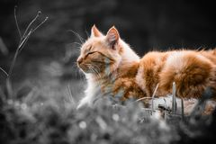 Portrait of cute little orange cat  lying on tree trunk outdoors in selective color black and white in blurred background Royalty Free Stock Image