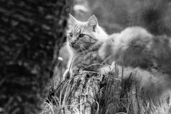 Portrait of cute little orange vagrant cat  lying on tree trunk outdoors in black and white in blurred background Royalty Free Stock Photos