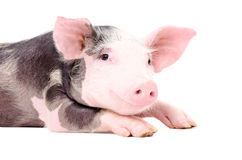 Portrait of the cute little pig. Isolated on white background royalty free stock image