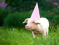 Portrait of cute little pink piggy standing in garden among green grass. stock photo