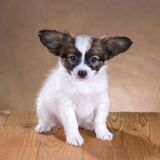 Papillon puppy Royalty Free Stock Image