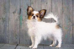 Portrait of a cute little puppy Papillon Royalty Free Stock Images