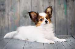 Portrait of a cute little puppy Papillon Royalty Free Stock Photography