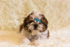 Portrait of a cute little Shih Tzu puppy. Shih Tzu Dog royalty free stock photo