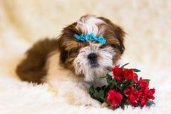 Portrait of a cute little Shih Tzu puppy. Shih Tzu Dog stock photo
