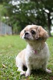 Portrait of a cute Shih Tzu dog. Portrait of a cute little Shih Tzu puppy dog outdoor stock photos