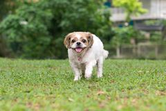 Portrait of a cute Shih Tzu dog. Portrait of a cute little Shih Tzu puppy dog outdoor royalty free stock photo