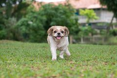 Portrait of a cute Shih Tzu dog. Portrait of a cute little Shih Tzu puppy dog outdoor stock image