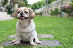 Portrait of a cute Shih Tzu dog. Portrait of a cute little Shih Tzu puppy dog outdoor stock images