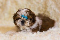 Portrait of a cute little Shih Tzu puppy. Shih Tzu Dog royalty free stock photos