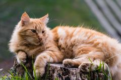 Portrait of cute little vagrant orange cat isolated lying on tree trunk outdoors in blurred background Stock Photos