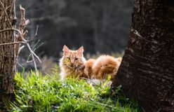Portrait of cute little vagrant orange cat lying on tree trunk outdoors looking at camera in blurred background royalty free stock photos