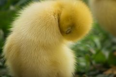 Portrait of cute little yellow baby fluffy muscovy duckling cleaning itself. Close up Stock Photos