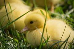 Portrait of cute little yellow baby fluffy muscovy ducklings close up stock photography