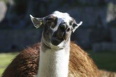 The portrait of a cute llama in Machu Picchu ,Peru. stock image