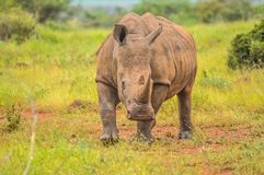 Portrait of cute male bull white Rhino or Rhinoceros in a group. In greater kruger national park in South Africa royalty free stock image