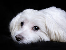 Maltese portrait. Portrait of a cute maltese dog on black background Royalty Free Stock Photos