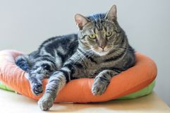 Portrait of cute marble striped cat in orange cat bed, single animal, eye contact. Portrait of cute marble striped cat in orange cat bed, single domestic animal royalty free stock photography