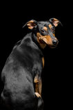 Portrait of cute mix breed dog on black background Stock Images