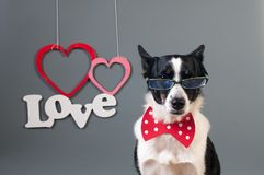 Portrait of cute mixed breed dog in bow tie Stock Image