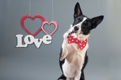 Portrait of cute mixed breed dog in bow tie Stock Images