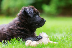 Portrait of a cute Old German Shepherd puppy with a soft toy Royalty Free Stock Photos