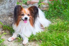 Papillon dog lying in the green grass. Portrait of cute Papillon dog lying in the green grass royalty free stock images