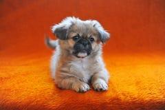 Portrait of Cute Pekingese dog next cage Royalty Free Stock Photography
