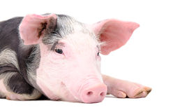 Portrait of the cute pig stock image