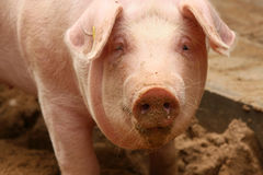 Portrait of cute piglet Royalty Free Stock Photography
