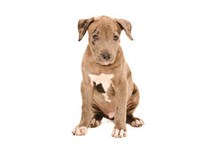 Portrait of a cute pit bull puppy. Sitting  on white background Royalty Free Stock Photos