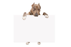 Portrait of cute pit bull standing with a banner Royalty Free Stock Photo