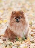 Portrait of cute pomeranian dog. The Pomeranian spitz-dog on autumn leaves. Portrait of cute pomeranian dog Royalty Free Stock Photos