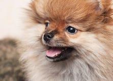 Portrait of a puppy of the Pomeranian spitz-dog. Portrait of cute pomeranian dog Stock Photography