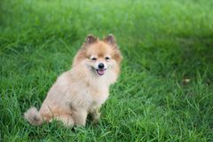 Portrait of cute Pomeranian dog smile in field. Portrait of Adorable happy Brown Pomeranian dog smile and stand on greenery grass meadow with copy space for text stock image