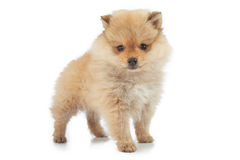 Portrait of cute pomeranian puppy, isolated on white royalty free stock photo