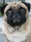 Portrait of cute pug dog Stock Image