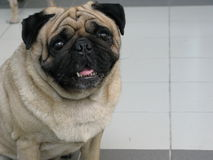 Portrait of cute pug dog Stock Images