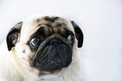 Portrait of a cute pug dog with big sad eyes and a questioning look on a white background. Beautiful Stock Photo