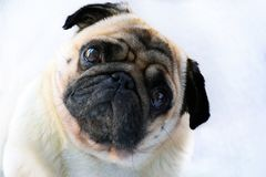 Portrait of a cute pug dog with big sad eyes and a questioning look on a white background. Beautiful Royalty Free Stock Photo